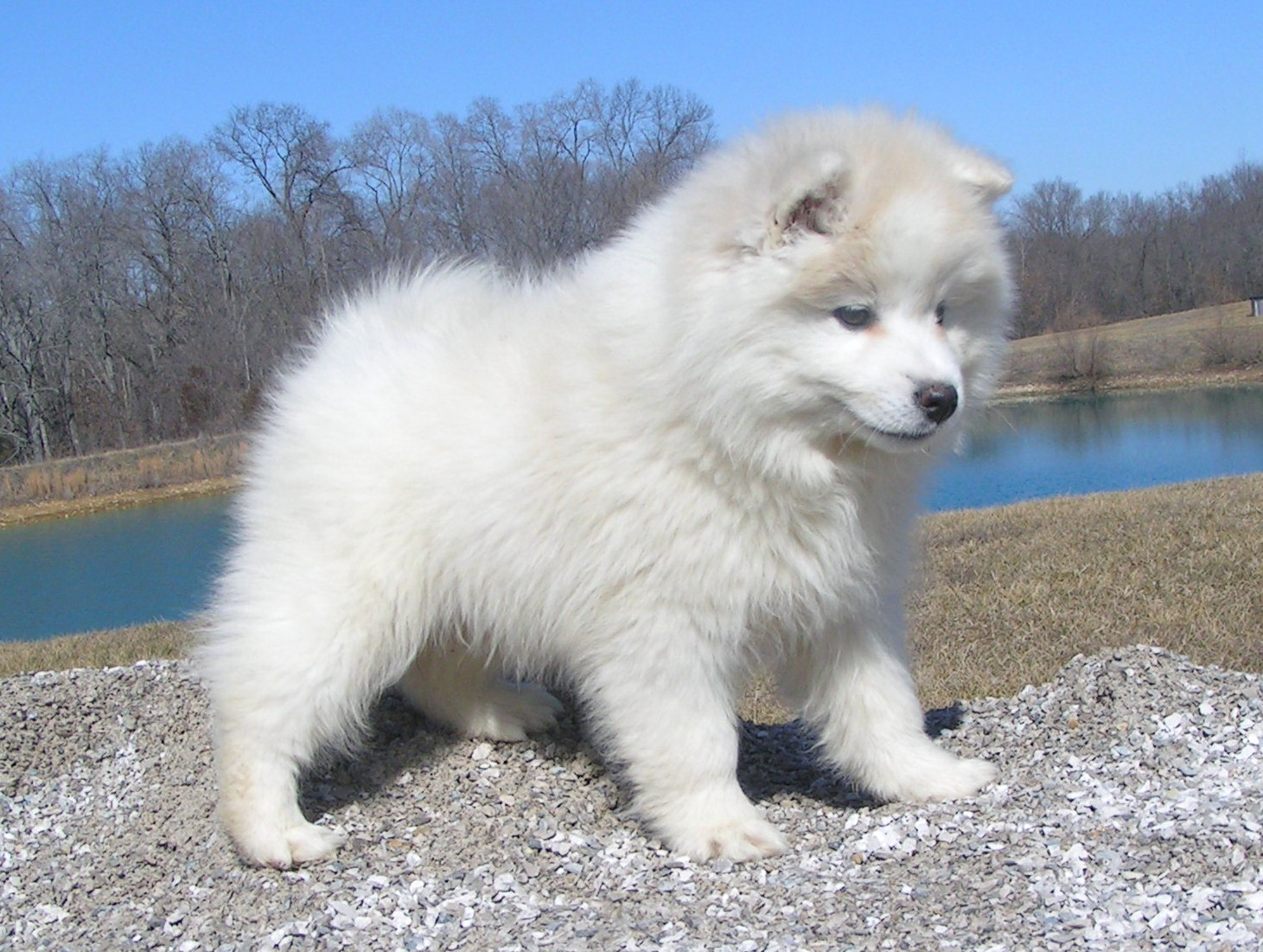 Mini Tiny Toy Japanese Spitz Dogs Litter