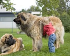 Largest Dogs