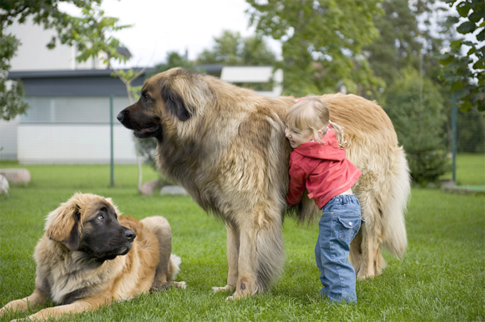 Little girl playing with her pet Leonbergers