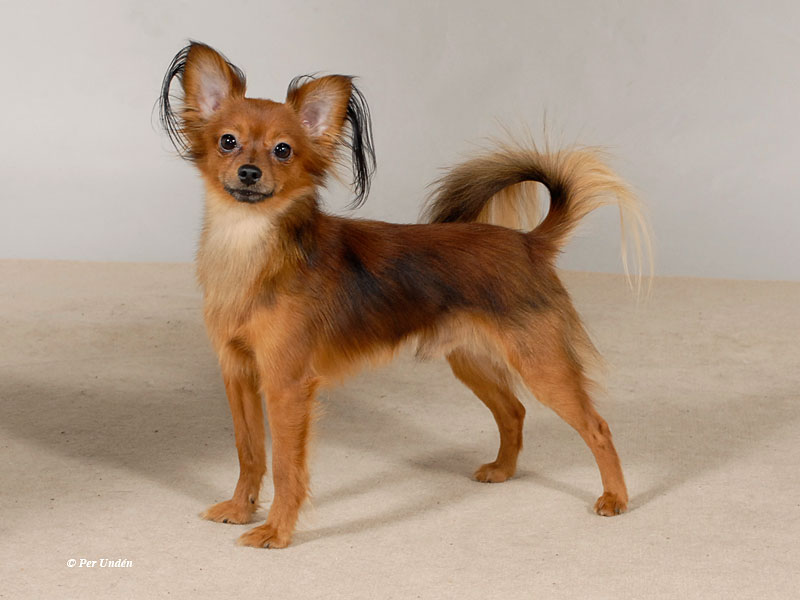 Russkiy Toy Terrier