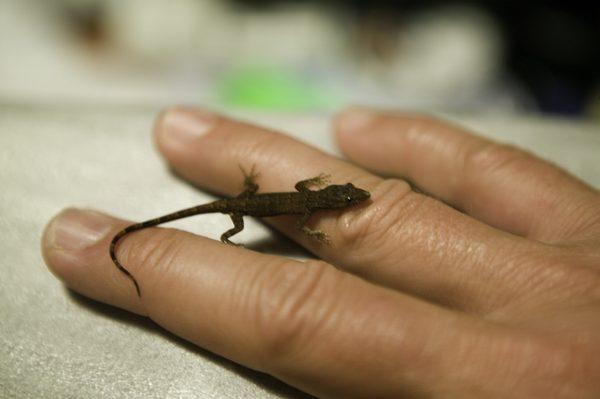 Smallest Lizards