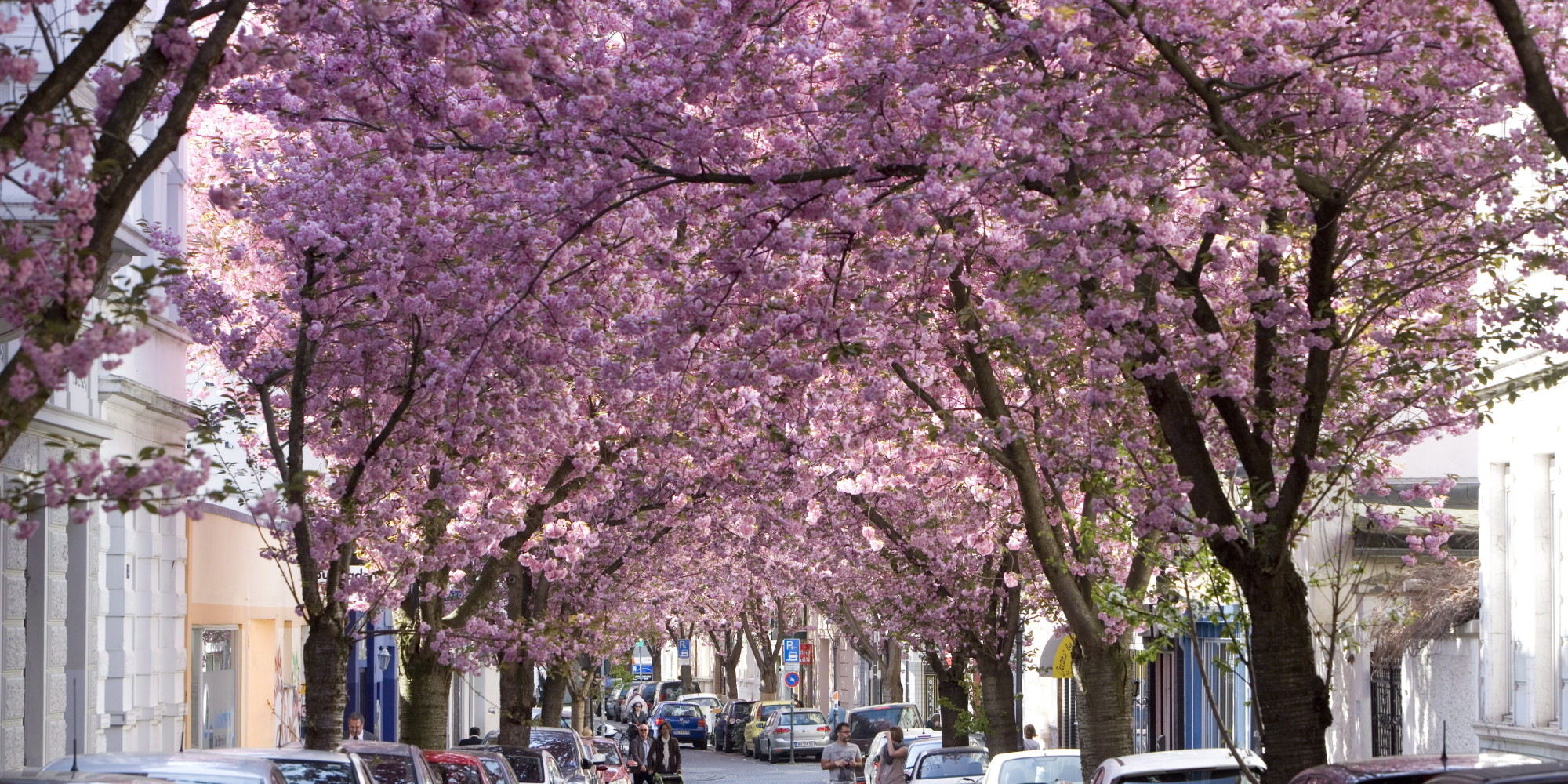 GERMANY, BONN - APRIL 02:Cherry blossom pictured in the old city of Bonn on April 02, 2014 in Bonn, Germany. (Photo by Ulrich Baumgarten via Getty Images)