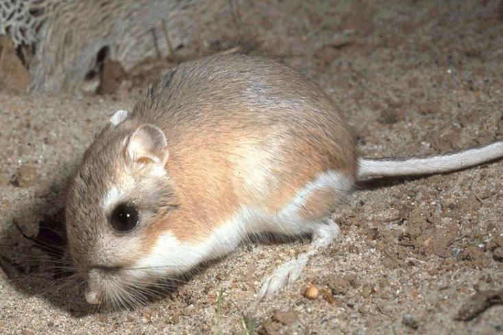 Kangaroo-rat images