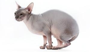 Sphynx-cat