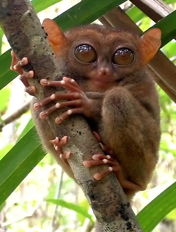tarsier images