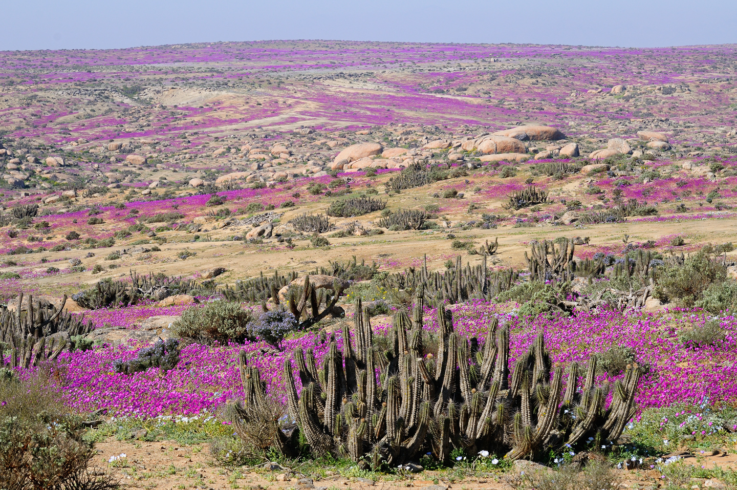 Atacama Desert in bloom