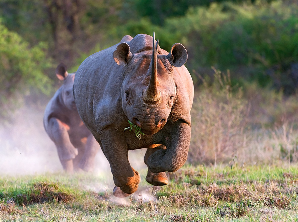 running rhinoceros images