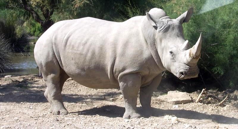 1-rhino