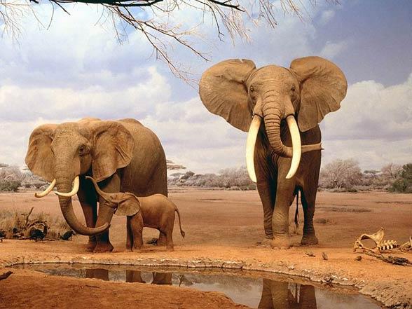 3-african-bush-elephant