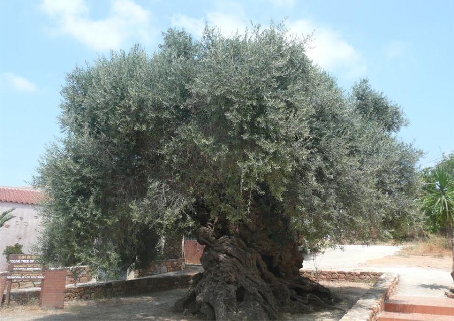 olive-tree-of-vouves